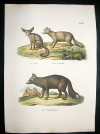 Schinz 1845 Antique Hand Col Print. Fennec & Red Fox 18